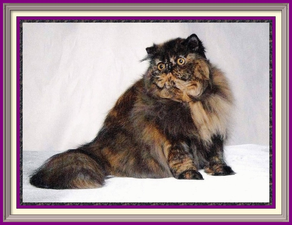 Exotic Longhair kittens for sale in Alabama, Exotic Longhair kittens for sale in AL, Exotic Longhair kittens for sale in Alaska, AK, Exotic Longhair kittens for sale in Arizona, AZ, Exotic Longhair kittens for sale in Arkansas, AR, Exotic Longhair kittens for sale in California, CA, Exotic Longhair kittens for sale in Colorado, CO, Exotic Longhair kittens for sale in Connecticut, CT, Exotic Longhair kittens for sale in District of Columbia, DC, Exotic Longhair kittens for sale in Delaware, DE, Exotic Longhair kittens for sale in Florida, FL, Exotic Longhair kittens for sale in Georgia, GA, Exotic Longhair kittens for sale in Hawaii, HI, Exotic Longhair kittens for sale in Idaho, ID, Exotic Longhair kittens for sale in Illinois, IL, Exotic Longhair kittens for sale in Indiana, IN, Exotic Longhair kittens for sale in Iowa, IA, Exotic Longhair kittens for sale in Kansas, KS, Exotic Longhair kittens for sale in Kentucky, KY, Exotic Longhair kittens for sale in Louisiana, LA, Exotic Longhair kittens for sale in Maine, ME, Exotic Longhair kittens for sale in Maryland, MD, Exotic Longhair kittens for sale in Massachusetts, MA, Exotic Longhair kittens for sale in Michigan, MI, Exotic Longhair kittens for sale in Minnesota, MN, Exotic Longhair kittens for sale in Mississippi, MS, Exotic Longhair kittens for sale in Missouri, MO, Exotic Longhair kittens for sale in Montana, MT, Exotic Longhair kittens for sale in Nebraska, NE, Exotic Longhair kittens for sale in Nevada, NV, Exotic Longhair kittens for sale in New Hampshire, NH, Exotic Longhair kittens for sale in New Jersey, NJ, Exotic Longhair kittens for sale in New Mexico, NM, Exotic Longhair kittens for sale in New York, NY, Exotic Longhair kittens for sale in North Carolina, NC, Exotic Longhair kittens for sale in North Dakota, ND, Exotic Longhair kittens for sale in Ohio, OH, Exotic Longhair kittens for sale in Oklahoma, OK, Exotic Longhair kittens for sale in Oregon, OR, Exotic Longhair kittens for sale in Pennsylvania, PA, Exotic Longhair kittens for sale in Puerto Rico, PR, Exotic Longhair kittens for sale in Rhode Island, RI, Exotic Longhair kittens for sale in South Carolina, SC, Exotic Longhair kittens for sale in South Dakota, SD, Exotic Longhair kittens for sale in Tennessee, TN, Exotic Longhair kittens for sale in Texas, TX, Exotic Longhair kittens for sale in Utah, UT, Exotic Longhair kittens for sale in Vermont, VT, Exotic Longhair kittens for sale in Virginia, VA, Exotic Longhair kittens for sale in Washington, WA, Exotic Longhair kittens for sale in West Virginia, WV, Exotic Longhair kittens for sale in Wisconsin, WI, Exotic Longhair kittens for sale in Wyoming, WY
