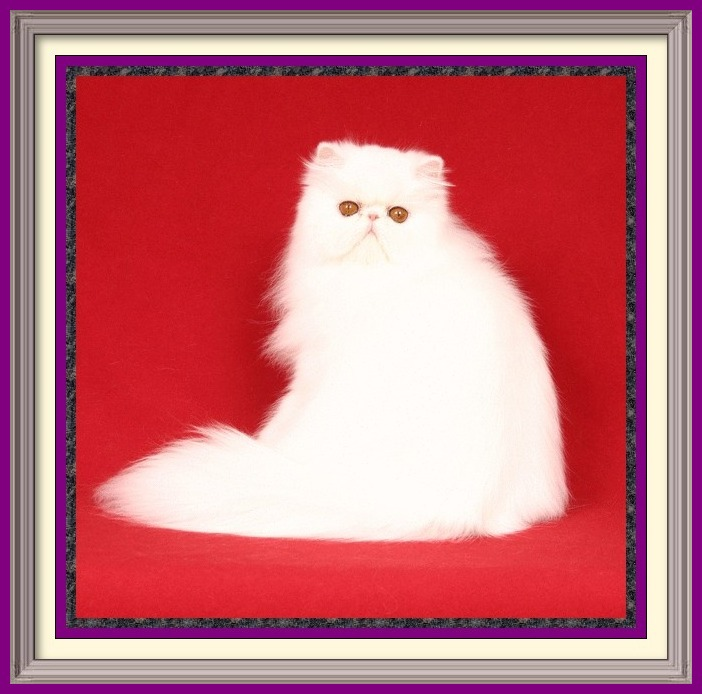 Age to spay and neuter kittens, what to know before getting a kitten, buying a registered Persian, buying a registered Exotic Shorthair, Buying a registered Exotic Longhair, CFA Persian breed standard, Exotic Shorthair breed standard, Exotic Longhair breed standard, find a Persian cat breeder, find an Exotic Shorthair cat breeder, find an Exotic Longhair cat breeder, finding a good cat breeder, finding a reputable cat breeder, new cat introduction, new kitten introduction, new Persian cat or kitten, new Exotic Shorthair cat, new Exotic shorthair kitten, new Exotic Longhair kitten, Persian cat breeders, Exotic Shorthair cat breeder, Exotic longhair cat breeder, Persian cat information, Exotic Shorthair cat information, Exotic Longhair cat information, Persian eye tearing, spay and neuter, microchip cat, new Persian cat, Persian cat bath and grooming, grooming a Persian cat, household toxins, cat nutrition, books on Persians, cat shows in my area, pet insurance, information to care for cats, caring for your kitty, caring for your cat, caring for your kitten,