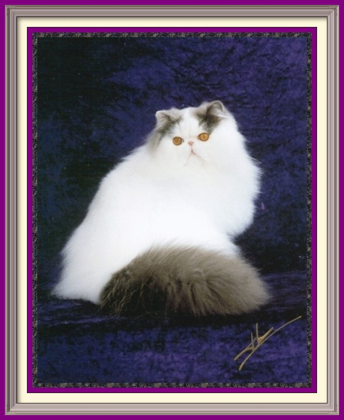 CFA Registered Persian cats and Persian kittens for sale. Get more information on Persian cats, Persian kittens, and cat shows. Persian Cattery, Persian, Persians, Persian Cats, Persian Kitten In Colorado, Persian Breeder In Colorado, Persian Cats for Sale, Persian Cat, Persian Kittens, Persian Kitten, Persian Cat Breeder, Persian Cat Breeders, Persian Cat Breeder In Colorado, Persian Kitten Breeder In Colorado, Cat Breeder, Cat Breeders, Cattery, Cat, Cats, Kitten, Kittens, Breeder, Breeders, Feline, Pet, Rocky Mountains, Companion, Longhairs, Longhair Cats, Cat Fanciers Association, Grooming And Bathing Persians, Health Guarantee, Bathing, Bath, Persian, Bath, Mats, Comb, Persians, Purebred, Purebreds, Persian, Shows, Himalayan Cats, Longhair Kittens, Sweet Face, Cat Health, Cat Links, Sire, Dam, Pedigree Cats, Kitten Sales, Home Raised, Cattery, Cat Care, Cat Referral, Pet Cat, Feline, Sire, Dam, Tabbys, Tabbies, Pointed, Health, Temperament, Disposition, Purr, Personality, Pets, Feline, Cat Links, Raised, Cats Raised Underfoot, Pedigree, Kittens Available, Cat Care, Bi-Color, Bicolor, Solid, Smoke, Flat Face, Calico, Champion, Grand Champion, Tortoiseshell, Tortiseshell, Blue-Cream, Blue Cream, Bi-Color Van, Bicolor Van, Groomer's Goop, Goop to wash cats, degrease with Goop, Feline behavior modification with Feliway. Cats for sale, cat classifieds, cat photo, kittens, cat toys, Persian, Persians, catteries, catteries, cattery directory, cats, cat photos, cat, kittens for sale, cats for sale, kittens and cats for sale, kittens sale, cats sale, cat breeders cats breeders cats for sale kittens for sale kittens cats breeders Exotic Shorthair kittens, Exotic Shorthair cat breeders, Exotic Longhair kittens, Persian kittens, Alabama, Alaska, Arizona, Arkansas, California, Colorado, Connecticut, Delaware, Florida, Georgia, Hawaii, Idaho, Illinois, Indiana, Iowa, Kansas, Kentucky, Louisiana, Maine, Maryland, Massachusetts, Michigan, Minnesota, Mississippi, Missouri, Montana, Nebraska, Nevada, New Hampshire, New Jersey, New Mexico, New York, North Carolina, North Dakota, Ohio, Oklahoma, Oregon, Pennsylvania, Rhode Island, South Carolina, South Dakota, Tennessee, Texas, Utah, Vermont, Virginia, Washington, Washington DC, West Virginia, Wisconsin, Wyoming,