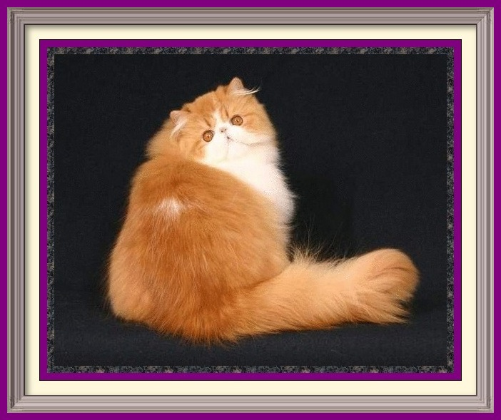Persian Kittens for Sale, Breeder of healthy Persian kittens, Persian Cats & Kittens for Sale for Sale, Persian kitten breeder, Health Guarantee, kittens with Guarantee. Exotic Shorthair cat breeder in Alabama, Exotic Shorthair cat breeder in AL, Exotic Shorthair cat breeder in Alaska, AK, Exotic Shorthair cat breeder in Arizona, AZ, Exotic Shorthair cat breeder in Arkansas, AR, Exotic Shorthair cat breeder in California, CA, Exotic Shorthair cat breeder in Colorado, CO, Exotic Shorthair cat breeder in Connecticut, CT, Exotic Shorthair cat breeder in District of Columbia, DC, Exotic Shorthair cat breeder in Delaware, DE, Exotic Shorthair cat breeder in Florida, FL, Exotic Shorthair cat breeder in Georgia, GA, Exotic Shorthair cat breeder in Hawaii, HI, Exotic Shorthair cat breeder in Idaho, ID, Exotic Shorthair cat breeder in Illinois, IL, Exotic Shorthair cat breeder in Indiana, IN, Exotic Shorthair cat breeder in Iowa, IA, Exotic Shorthair cat breeder in Kansas, KS, Exotic Shorthair cat breeder in Kentucky, KY, Exotic Shorthair cat breeder in Louisiana, LA, Exotic Shorthair cat breeder in Maine, ME, Exotic Shorthair cat breeder in Maryland, MD, Exotic Shorthair cat breeder in Massachusetts, MA, Exotic Shorthair cat breeder in Michigan, MI, Exotic Shorthair cat breeder in Minnesota, MN, Exotic Shorthair cat breeder in Mississippi, MS, Exotic Shorthair cat breeder in Missouri, MO, Exotic Shorthair cat breeder in Montana, MT, Exotic Shorthair cat breeder in Nebraska, NE, Exotic Shorthair cat breeder in Nevada, NV, Exotic Shorthair cat breeder in New Hampshire, NH, Exotic Shorthair cat breeder in New Jersey, NJ, Exotic Shorthair cat breeder in New Mexico, NM, Exotic Shorthair cat breeder in New York, NY, Exotic Shorthair cat breeder in North Carolina, NC, Exotic Shorthair cat breeder in North Dakota, ND, Exotic Shorthair cat breeder in Ohio, OH, Exotic Shorthair cat breeder in Oklahoma, OK, Exotic Shorthair cat breeder in Oregon, OR, Exotic Shorthair cat breeder in Pennsylvania, PA, Exotic Shorthair cat breeder in Puerto Rico, PR, Exotic Shorthair cat breeder in Rhode Island, RI, Exotic Shorthair cat breeder in South Carolina, SC, Exotic Shorthair cat breeder in South Dakota, SD, Exotic Shorthair cat breeder in Tennessee, TN, Exotic Shorthair cat breeder in Texas, TX, Exotic Shorthair cat breeder in Utah, UT, Exotic Shorthair cat breeder in Vermont, VT, Exotic Shorthair cat breeder in Virginia, VA, Exotic Shorthair cat breeder in Washington, WA, Exotic Shorthair cat breeder in West Virginia, WV, Exotic Shorthair cat breeder in Wisconsin, WI, Exotic Shorthair cat breeder in Wyoming, WY Exotic Longhair cat breeder in Alabama, Exotic Longhair cat breeder in AL, Exotic Longhair cat breeder in Alaska, AK, Exotic Longhair cat breeder in Arizona, AZ, Exotic Longhair cat breeder in Arkansas, AR, Exotic Longhair cat breeder in California, CA, Exotic Longhair cat breeder in Colorado, CO, Exotic Longhair cat breeder in Connecticut, CT, Exotic Longhair cat breeder in District of Columbia, DC, Exotic Longhair cat breeder in Delaware, DE, Exotic Longhair cat breeder in Florida, FL, Exotic Longhair cat breeder in Georgia, GA, Exotic Longhair cat breeder in Hawaii, HI, Exotic Longhair cat breeder in Idaho, ID, Exotic Longhair cat breeder in Illinois, IL, Exotic Longhair cat breeder in Indiana, IN, Exotic Longhair cat breeder in Iowa, IA, Exotic Longhair cat breeder in Kansas, KS, Exotic Longhair cat breeder in Kentucky, KY, Exotic Longhair cat breeder in Louisiana, LA, Exotic Longhair cat breeder in Maine, ME, Exotic Longhair cat breeder in Maryland, MD, Exotic Longhair cat breeder in Massachusetts, MA, Exotic Longhair cat breeder in Michigan, MI, Exotic Longhair cat breeder in Minnesota, MN, Exotic Longhair cat breeder in Mississippi, MS, Exotic Longhair cat breeder in Missouri, MO, Exotic Longhair cat breeder in Montana, MT, Exotic Longhair cat breeder in Nebraska, NE, Exotic Longhair cat breeder in Nevada, NV, Exotic Longhair cat breeder in New Hampshire, NH, Exotic Longhair cat breeder in New Jersey, NJ, Exotic Longhair cat breeder in New Mexico, NM, Exotic Longhair cat breeder in New York, NY, Exotic Longhair cat breeder in North Carolina, NC, Exotic Longhair cat breeder in North Dakota, ND, Exotic Longhair cat breeder in Ohio, OH, Exotic Longhair cat breeder in Oklahoma, OK, Exotic Longhair cat breeder in Oregon, OR, Exotic Longhair cat breeder in Pennsylvania, PA, Exotic Longhair cat breeder in Puerto Rico, PR, Exotic Longhair cat breeder in Rhode Island, RI, Exotic Longhair cat breeder in South Carolina, SC, Exotic Longhair cat breeder in South Dakota, SD, Exotic Longhair cat breeder in Tennessee, TN, Exotic Longhair cat breeder in Texas, TX, Exotic Longhair cat breeder in Utah, UT, Exotic Longhair cat breeder in Vermont, VT, Exotic Longhair cat breeder in Virginia, VA, Exotic Longhair cat breeder in Washington, WA, Exotic Longhair cat breeder in West Virginia, WV, Exotic Longhair cat breeder in Wisconsin, WI, Exotic Longhair cat breeder in Wyoming, WY Persian cat breeder in Alabama, Persian cat breeder in AL, Persian cat breeder in Alaska, AK, Persian cat breeder in Arizona, AZ, Persian cat breeder in Arkansas, AR, Persian cat breeder in California, CA, Persian cat breeder in Colorado, CO, Persian cat breeder in Connecticut, CT, Persian cat breeder in District of Columbia, DC, Persian cat breeder in Delaware, DE, Persian cat breeder in Florida, FL, Persian cat breeder in Georgia, GA, Persian cat breeder in Hawaii, HI, Persian cat breeder in Idaho, ID, Persian cat breeder in Illinois, IL, Persian cat breeder in Indiana, IN, Persian cat breeder in Iowa, IA, Persian cat breeder in Kansas, KS, Persian cat breeder in Kentucky, KY, Persian cat breeder in Louisiana, LA, Persian cat breeder in Maine, ME, Persian cat breeder in Maryland, MD, Persian cat breeder in Massachusetts, MA, Persian cat breeder in Michigan, MI, Persian cat breeder in Minnesota, MN, Persian cat breeder in Mississippi, MS, Persian cat breeder in Missouri, MO, Persian cat breeder in Montana, MT, Persian cat breeder in Nebraska, NE, Persian cat breeder in Nevada, NV, Persian cat breeder in New Hampshire, NH, Persian cat breeder in New Jersey, NJ, Persian cat breeder in New Mexico, NM, Persian cat breeder in New York, NY, Persian cat breeder in North Carolina, NC, Persian cat breeder in North Dakota, ND, Persian cat breeder in Ohio, OH, Persian cat breeder in Oklahoma, OK, Persian cat breeder in Oregon, OR, Persian cat breeder in Pennsylvania, PA, Persian cat breeder in Puerto Rico, PR, Persian cat breeder in Rhode Island, RI, Persian cat breeder in South Carolina, SC, Persian cat breeder in South Dakota, SD, Persian cat breeder in Tennessee, TN, Persian cat breeder in Texas, TX, Persian cat breeder in Utah, UT, Persian cat breeder in Vermont, VT, Persian cat breeder in Virginia, VA, Persian cat breeder in Washington, WA, Persian cat breeder in West Virginia, WV, Persian cat breeder in Wisconsin, WI, Persian cat breeder in Wyoming, WY