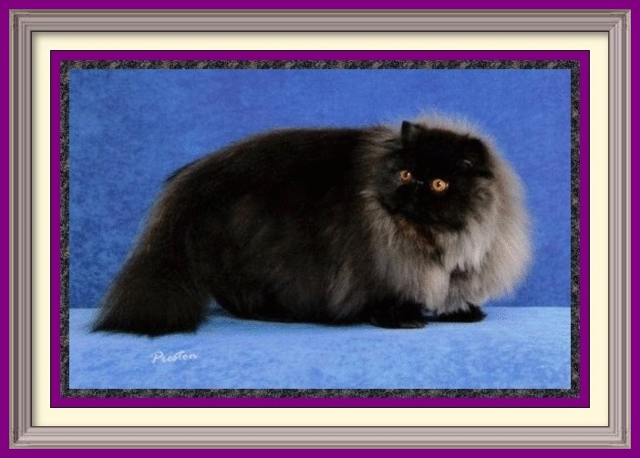 Retired Persian Show Cats – Purrtopia Persian & Exotics