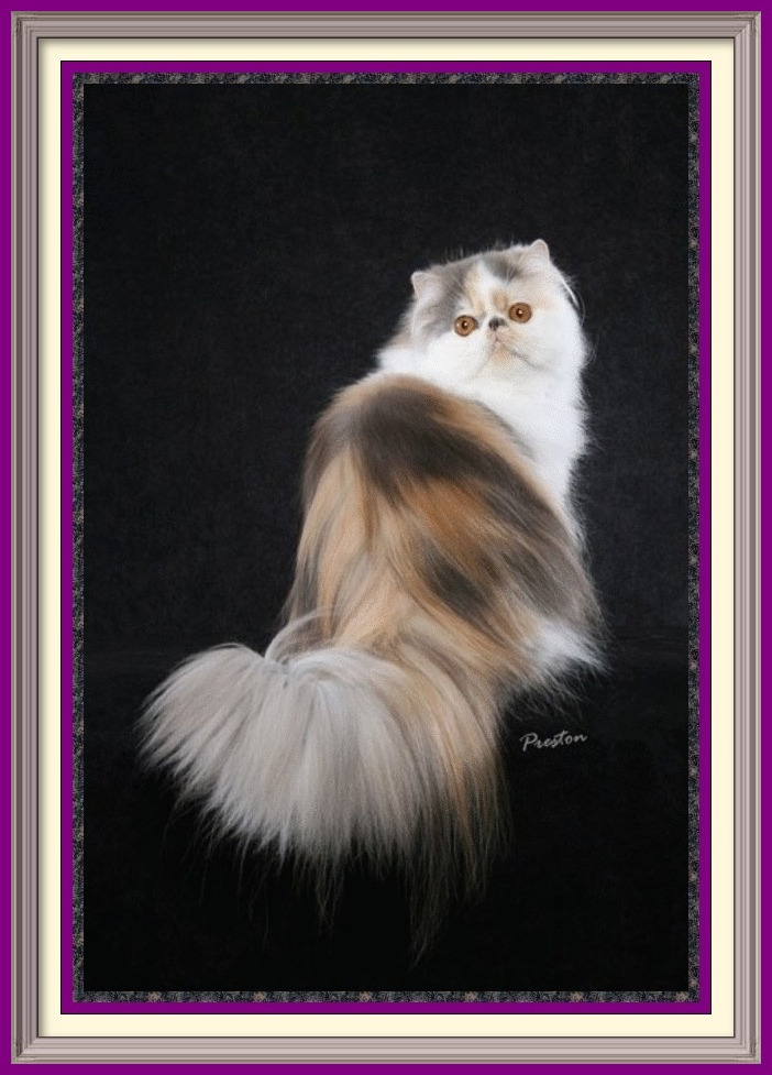 Persian Kittens for Sale, Breeder of healthy Persian kittens, Persian Cats & Kittens for Sale for Sale, Persian kitten breeder, Health Guarantee, kittens with Guarantee. Exotic Shorthair cat breeder in Alabama, Exotic Shorthair cat breeder in AL, Exotic Shorthair cat breeder in Alaska, AK, Exotic Shorthair cat breeder in Arizona, AZ, Exotic Shorthair cat breeder in Arkansas, AR, Exotic Shorthair cat breeder in California, CA, Exotic Shorthair cat breeder in Colorado, CO, Exotic Shorthair cat breeder in Connecticut, CT, Exotic Shorthair cat breeder in District of Columbia, DC, Exotic Shorthair cat breeder in Delaware, DE, Exotic Shorthair cat breeder in Florida, FL, Exotic Shorthair cat breeder in Georgia, GA, Exotic Shorthair cat breeder in Hawaii, HI, Exotic Shorthair cat breeder in Idaho, ID, Exotic Shorthair cat breeder in Illinois, IL, Exotic Shorthair cat breeder in Indiana, IN, Exotic Shorthair cat breeder in Iowa, IA, Exotic Shorthair cat breeder in Kansas, KS, Exotic Shorthair cat breeder in Kentucky, KY, Exotic Shorthair cat breeder in Louisiana, LA, Exotic Shorthair cat breeder in Maine, ME, Exotic Shorthair cat breeder in Maryland, MD, Exotic Shorthair cat breeder in Massachusetts, MA, Exotic Shorthair cat breeder in Michigan, MI, Exotic Shorthair cat breeder in Minnesota, MN, Exotic Shorthair cat breeder in Mississippi, MS, Exotic Shorthair cat breeder in Missouri, MO, Exotic Shorthair cat breeder in Montana, MT, Exotic Shorthair cat breeder in Nebraska, NE, Exotic Shorthair cat breeder in Nevada, NV, Exotic Shorthair cat breeder in New Hampshire, NH, Exotic Shorthair cat breeder in New Jersey, NJ, Exotic Shorthair cat breeder in New Mexico, NM, Exotic Shorthair cat breeder in New York, NY, Exotic Shorthair cat breeder in North Carolina, NC, Exotic Shorthair cat breeder in North Dakota, ND, Exotic Shorthair cat breeder in Ohio, OH, Exotic Shorthair cat breeder in Oklahoma, OK, Exotic Shorthair cat breeder in Oregon, OR, Exotic Shorthair cat breeder in Pennsylvania, PA, Exotic Shorthair cat breeder in Puerto Rico, PR, Exotic Shorthair cat breeder in Rhode Island, RI, Exotic Shorthair cat breeder in South Carolina, SC, Exotic Shorthair cat breeder in South Dakota, SD, Exotic Shorthair cat breeder in Tennessee, TN, Exotic Shorthair cat breeder in Texas, TX, Exotic Shorthair cat breeder in Utah, UT, Exotic Shorthair cat breeder in Vermont, VT, Exotic Shorthair cat breeder in Virginia, VA, Exotic Shorthair cat breeder in Washington, WA, Exotic Shorthair cat breeder in West Virginia, WV, Exotic Shorthair cat breeder in Wisconsin, WI, Exotic Shorthair cat breeder in Wyoming, WY Exotic Longhair cat breeder in Alabama, Exotic Longhair cat breeder in AL, Exotic Longhair cat breeder in Alaska, AK, Exotic Longhair cat breeder in Arizona, AZ, Exotic Longhair cat breeder in Arkansas, AR, Exotic Longhair cat breeder in California, CA, Exotic Longhair cat breeder in Colorado, CO, Exotic Longhair cat breeder in Connecticut, CT, Exotic Longhair cat breeder in District of Columbia, DC, Exotic Longhair cat breeder in Delaware, DE, Exotic Longhair cat breeder in Florida, FL, Exotic Longhair cat breeder in Georgia, GA, Exotic Longhair cat breeder in Hawaii, HI, Exotic Longhair cat breeder in Idaho, ID, Exotic Longhair cat breeder in Illinois, IL, Exotic Longhair cat breeder in Indiana, IN, Exotic Longhair cat breeder in Iowa, IA, Exotic Longhair cat breeder in Kansas, KS, Exotic Longhair cat breeder in Kentucky, KY, Exotic Longhair cat breeder in Louisiana, LA, Exotic Longhair cat breeder in Maine, ME, Exotic Longhair cat breeder in Maryland, MD, Exotic Longhair cat breeder in Massachusetts, MA, Exotic Longhair cat breeder in Michigan, MI, Exotic Longhair cat breeder in Minnesota, MN, Exotic Longhair cat breeder in Mississippi, MS, Exotic Longhair cat breeder in Missouri, MO, Exotic Longhair cat breeder in Montana, MT, Exotic Longhair cat breeder in Nebraska, NE, Exotic Longhair cat breeder in Nevada, NV, Exotic Longhair cat breeder in New Hampshire, NH, Exotic Longhair cat breeder in New Jersey, NJ, Exotic Longhair cat breeder in New Mexico, NM, Exotic Longhair cat breeder in New York, NY, Exotic Longhair cat breeder in North Carolina, NC, Exotic Longhair cat breeder in North Dakota, ND, Exotic Longhair cat breeder in Ohio, OH, Exotic Longhair cat breeder in Oklahoma, OK, Exotic Longhair cat breeder in Oregon, OR, Exotic Longhair cat breeder in Pennsylvania, PA, Exotic Longhair cat breeder in Puerto Rico, PR, Exotic Longhair cat breeder in Rhode Island, RI, Exotic Longhair cat breeder in South Carolina, SC, Exotic Longhair cat breeder in South Dakota, SD, Exotic Longhair cat breeder in Tennessee, TN, Exotic Longhair cat breeder in Texas, TX, Exotic Longhair cat breeder in Utah, UT, Exotic Longhair cat breeder in Vermont, VT, Exotic Longhair cat breeder in Virginia, VA, Exotic Longhair cat breeder in Washington, WA, Exotic Longhair cat breeder in West Virginia, WV, Exotic Longhair cat breeder in Wisconsin, WI, Exotic Longhair cat breeder in Wyoming, WY Persian cat breeder in Alabama, Persian cat breeder in AL, Persian cat breeder in Alaska, AK, Persian cat breeder in Arizona, AZ, Persian cat breeder in Arkansas, AR, Persian cat breeder in California, CA, Persian cat breeder in Colorado, CO, Persian cat breeder in Connecticut, CT, Persian cat breeder in District of Columbia, DC, Persian cat breeder in Delaware, DE, Persian cat breeder in Florida, FL, Persian cat breeder in Georgia, GA, Persian cat breeder in Hawaii, HI, Persian cat breeder in Idaho, ID, Persian cat breeder in Illinois, IL, Persian cat breeder in Indiana, IN, Persian cat breeder in Iowa, IA, Persian cat breeder in Kansas, KS, Persian cat breeder in Kentucky, KY, Persian cat breeder in Louisiana, LA, Persian cat breeder in Maine, ME, Persian cat breeder in Maryland, MD, Persian cat breeder in Massachusetts, MA, Persian cat breeder in Michigan, MI, Persian cat breeder in Minnesota, MN, Persian cat breeder in Mississippi, MS, Persian cat breeder in Missouri, MO, Persian cat breeder in Montana, MT, Persian cat breeder in Nebraska, NE, Persian cat breeder in Nevada, NV, Persian cat breeder in New Hampshire, NH, Persian cat breeder in New Jersey, NJ, Persian cat breeder in New Mexico, NM, Persian cat breeder in New York, NY, Persian cat breeder in North Carolina, NC, Persian cat breeder in North Dakota, ND, Persian cat breeder in Ohio, OH, Persian cat breeder in Oklahoma, OK, Persian cat breeder in Oregon, OR, Persian cat breeder in Pennsylvania, PA, Persian cat breeder in Puerto Rico, PR, Persian cat breeder in Rhode Island, RI, Persian cat breeder in South Carolina, SC, Persian cat breeder in South Dakota, SD, Persian cat breeder in Tennessee, TN, Persian cat breeder in Texas, TX, Persian cat breeder in Utah, UT, Persian cat breeder in Vermont, VT, Persian cat breeder in Virginia, VA, Persian cat breeder in Washington, WA, Persian cat breeder in West Virginia, WV, Persian cat breeder in Wisconsin, WI, Persian cat breeder in Wyoming, WY Exotic Shorthair kittens for sale in Alabama, Exotic Shorthair kittens for sale in AL, Exotic Shorthair kittens for sale in Alaska, AK, Exotic Shorthair kittens for sale in Arizona, AZ, Exotic Shorthair kittens for sale in Arkansas, AR, Exotic Shorthair kittens for sale in California, CA, Exotic Shorthair kittens for sale in Colorado, CO, Exotic Shorthair kittens for sale in Connecticut, CT, Exotic Shorthair kittens for sale in District of Columbia, DC, Exotic Shorthair kittens for sale in Delaware, DE, Exotic Shorthair kittens for sale in Florida, FL, Exotic Shorthair kittens for sale in Georgia, GA, Exotic Shorthair kittens for sale in Hawaii, HI, Exotic Shorthair kittens for sale in Idaho, ID, Exotic Shorthair kittens for sale in Illinois, IL, Exotic Shorthair kittens for sale in Indiana, IN, Exotic Shorthair kittens for sale in Iowa, IA, Exotic Shorthair kittens for sale in Kansas, KS, Exotic Shorthair kittens for sale in Kentucky, KY, Exotic Shorthair kittens for sale in Louisiana, LA, Exotic Shorthair kittens for sale in Maine, ME, Exotic Shorthair kittens for sale in Maryland, MD, Exotic Shorthair kittens for sale in Massachusetts, MA, Exotic Shorthair kittens for sale in Michigan, MI, Exotic Shorthair kittens for sale in Minnesota, MN, Exotic Shorthair kittens for sale in Mississippi, MS, Exotic Shorthair kittens for sale in Missouri, MO, Exotic Shorthair kittens for sale in Montana, MT, Exotic Shorthair kittens for sale in Nebraska, NE, Exotic Shorthair kittens for sale in Nevada, NV, Exotic Shorthair kittens for sale in New Hampshire, NH, Exotic Shorthair kittens for sale in New Jersey, NJ, Exotic Shorthair kittens for sale in New Mexico, NM, Exotic Shorthair kittens for sale in New York, NY, Exotic Shorthair kittens for sale in North Carolina, NC, Exotic Shorthair kittens for sale in North Dakota, ND, Exotic Shorthair kittens for sale in Ohio, OH, Exotic Shorthair kittens for sale in Oklahoma, OK, Exotic Shorthair kittens for sale in Oregon, OR, Exotic Shorthair kittens for sale in Pennsylvania, PA, Exotic Shorthair kittens for sale in Puerto Rico, PR, Exotic Shorthair kittens for sale in Rhode Island, RI, Exotic Shorthair kittens for sale in South Carolina, SC, Exotic Shorthair kittens for sale in South Dakota, SD, Exotic Shorthair kittens for sale in Tennessee, TN, Exotic Shorthair kittens for sale in Texas, TX, Exotic Shorthair kittens for sale in Utah, UT, Exotic Shorthair kittens for sale in Vermont, VT, Exotic Shorthair kittens for sale in Virginia, VA, Exotic Shorthair kittens for sale in Washington, WA, Exotic Shorthair kittens for sale in West Virginia, WV, Exotic Shorthair kittens for sale in Wisconsin, WI, Exotic Shorthair kittens for sale in Wyoming, WY