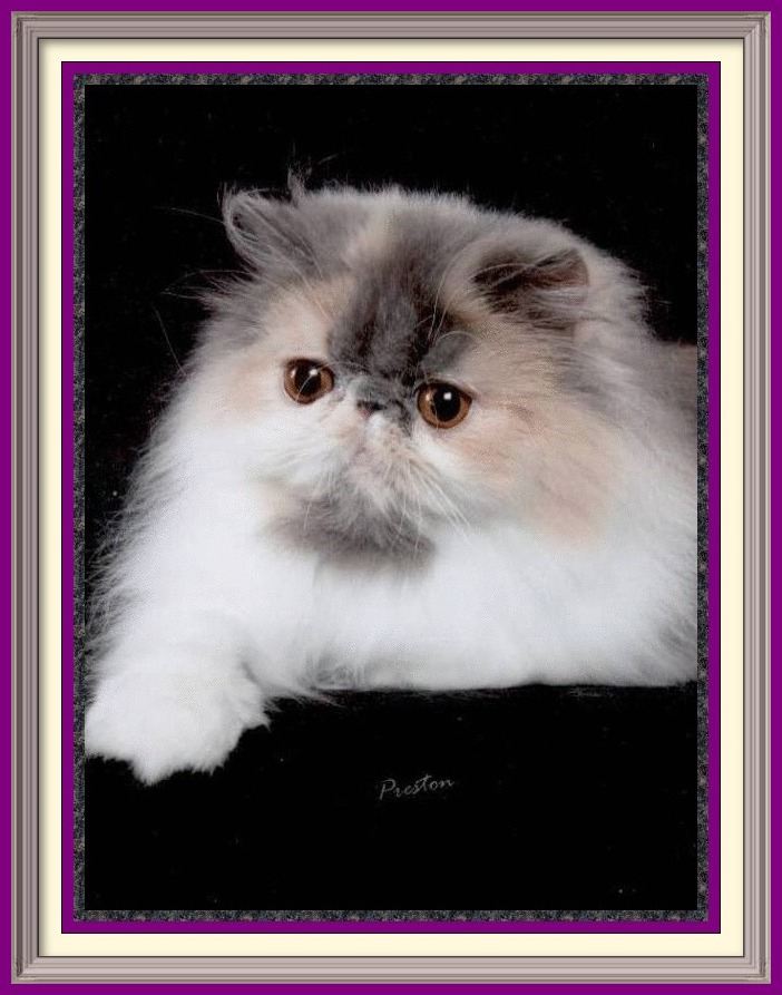 Persian cat breeder in Alabama, Persian cat breeder in AL, Persian cat breeder in Alaska, AK, Persian cat breeder in Arizona, AZ, Persian cat breeder in Arkansas, AR, Persian cat breeder in California, CA, Persian cat breeder in Colorado, CO, Persian cat breeder in Connecticut, CT, Persian cat breeder in District of Columbia, DC, Persian cat breeder in Delaware, DE, Persian cat breeder in Florida, FL, Persian cat breeder in Georgia, GA, Persian cat breeder in Hawaii, HI, Persian cat breeder in Idaho, ID, Persian cat breeder in Illinois, IL, Persian cat breeder in Indiana, IN, Persian cat breeder in Iowa, IA, Persian cat breeder in Kansas, KS, Persian cat breeder in Kentucky, KY, Persian cat breeder in Louisiana, LA, Persian cat breeder in Maine, ME, Persian cat breeder in Maryland, MD, Persian cat breeder in Massachusetts, MA, Persian cat breeder in Michigan, MI, Persian cat breeder in Minnesota, MN, Persian cat breeder in Mississippi, MS, Persian cat breeder in Missouri, MO, Persian cat breeder in Montana, MT, Persian cat breeder in Nebraska, NE, Persian cat breeder in Nevada, NV, Persian cat breeder in New Hampshire, NH, Persian cat breeder in New Jersey, NJ, Persian cat breeder in New Mexico, NM, Persian cat breeder in New York, NY, Persian cat breeder in North Carolina, NC, Persian cat breeder in North Dakota, ND, Persian cat breeder in Ohio, OH, Persian cat breeder in Oklahoma, OK, Persian cat breeder in Oregon, OR, Persian cat breeder in Pennsylvania, PA, Persian cat breeder in Puerto Rico, PR, Persian cat breeder in Rhode Island, RI, Persian cat breeder in South Carolina, SC, Persian cat breeder in South Dakota, SD, Persian cat breeder in Tennessee, TN, Persian cat breeder in Texas, TX, Persian cat breeder in Utah, UT, Persian cat breeder in Vermont, VT, Persian cat breeder in Virginia, VA, Persian cat breeder in Washington, WA, Persian cat breeder in West Virginia, WV, Persian cat breeder in Wisconsin, WI, Persian cat breeder in Wyoming, WY Exotic Shorthair kittens for sale in Alabama, Exotic Shorthair kittens for sale in AL, Exotic Shorthair kittens for sale in Alaska, AK, Exotic Shorthair kittens for sale in Arizona, AZ, Exotic Shorthair kittens for sale in Arkansas, AR, Exotic Shorthair kittens for sale in California, CA, Exotic Shorthair kittens for sale in Colorado, CO, Exotic Shorthair kittens for sale in Connecticut, CT, Exotic Shorthair kittens for sale in District of Columbia, DC, Exotic Shorthair kittens for sale in Delaware, DE, Exotic Shorthair kittens for sale in Florida, FL, Exotic Shorthair kittens for sale in Georgia, GA, Exotic Shorthair kittens for sale in Hawaii, HI, Exotic Shorthair kittens for sale in Idaho, ID, Exotic Shorthair kittens for sale in Illinois, IL, Exotic Shorthair kittens for sale in Indiana, IN, Exotic Shorthair kittens for sale in Iowa, IA, Exotic Shorthair kittens for sale in Kansas, KS, Exotic Shorthair kittens for sale in Kentucky, KY, Exotic Shorthair kittens for sale in Louisiana, LA, Exotic Shorthair kittens for sale in Maine, ME, Exotic Shorthair kittens for sale in Maryland, MD, Exotic Shorthair kittens for sale in Massachusetts, MA, Exotic Shorthair kittens for sale in Michigan, MI, Exotic Shorthair kittens for sale in Minnesota, MN, Exotic Shorthair kittens for sale in Mississippi, MS, Exotic Shorthair kittens for sale in Missouri, MO, Exotic Shorthair kittens for sale in Montana, MT, Exotic Shorthair kittens for sale in Nebraska, NE, Exotic Shorthair kittens for sale in Nevada, NV, Exotic Shorthair kittens for sale in New Hampshire, NH, Exotic Shorthair kittens for sale in New Jersey, NJ, Exotic Shorthair kittens for sale in New Mexico, NM, Exotic Shorthair kittens for sale in New York, NY, Exotic Shorthair kittens for sale in North Carolina, NC, Exotic Shorthair kittens for sale in North Dakota, ND, Exotic Shorthair kittens for sale in Ohio, OH, Exotic Shorthair kittens for sale in Oklahoma, OK, Exotic Shorthair kittens for sale in Oregon, OR, Exotic Shorthair kittens for sale in Pennsylvania, PA, Exotic Shorthair kittens for sale in Puerto Rico, PR, Exotic Shorthair kittens for sale in Rhode Island, RI, Exotic Shorthair kittens for sale in South Carolina, SC, Exotic Shorthair kittens for sale in South Dakota, SD, Exotic Shorthair kittens for sale in Tennessee, TN, Exotic Shorthair kittens for sale in Texas, TX, Exotic Shorthair kittens for sale in Utah, UT, Exotic Shorthair kittens for sale in Vermont, VT, Exotic Shorthair kittens for sale in Virginia, VA, Exotic Shorthair kittens for sale in Washington, WA, Exotic Shorthair kittens for sale in West Virginia, WV, Exotic Shorthair kittens for sale in Wisconsin, WI, Exotic Shorthair kittens for sale in Wyoming, WY Exotic Longhair kittens for sale in Alabama, Exotic Longhair kittens for sale in AL, Exotic Longhair kittens for sale in Alaska, AK, Exotic Longhair kittens for sale in Arizona, AZ, Exotic Longhair kittens for sale in Arkansas, AR, Exotic Longhair kittens for sale in California, CA, Exotic Longhair kittens for sale in Colorado, CO, Exotic Longhair kittens for sale in Connecticut, CT, Exotic Longhair kittens for sale in District of Columbia, DC, Exotic Longhair kittens for sale in Delaware, DE, Exotic Longhair kittens for sale in Florida, FL, Exotic Longhair kittens for sale in Georgia, GA, Exotic Longhair kittens for sale in Hawaii, HI, Exotic Longhair kittens for sale in Idaho, ID, Exotic Longhair kittens for sale in Illinois, IL, Exotic Longhair kittens for sale in Indiana, IN, Exotic Longhair kittens for sale in Iowa, IA, Exotic Longhair kittens for sale in Kansas, KS, Exotic Longhair kittens for sale in Kentucky, KY, Exotic Longhair kittens for sale in Louisiana, LA, Exotic Longhair kittens for sale in Maine, ME, Exotic Longhair kittens for sale in Maryland, MD, Exotic Longhair kittens for sale in Massachusetts, MA, Exotic Longhair kittens for sale in Michigan, MI, Exotic Longhair kittens for sale in Minnesota, MN, Exotic Longhair kittens for sale in Mississippi, MS, Exotic Longhair kittens for sale in Missouri, MO, Exotic Longhair kittens for sale in Montana, MT, Exotic Longhair kittens for sale in Nebraska, NE, Exotic Longhair kittens for sale in Nevada, NV, Exotic Longhair kittens for sale in New Hampshire, NH, Exotic Longhair kittens for sale in New Jersey, NJ, Exotic Longhair kittens for sale in New Mexico, NM, Exotic Longhair kittens for sale in New York, NY, Exotic Longhair kittens for sale in North Carolina, NC, Exotic Longhair kittens for sale in North Dakota, ND, Exotic Longhair kittens for sale in Ohio, OH, Exotic Longhair kittens for sale in Oklahoma, OK, Exotic Longhair kittens for sale in Oregon, OR, Exotic Longhair kittens for sale in Pennsylvania, PA, Exotic Longhair kittens for sale in Puerto Rico, PR, Exotic Longhair kittens for sale in Rhode Island, RI, Exotic Longhair kittens for sale in South Carolina, SC, Exotic Longhair kittens for sale in South Dakota, SD, Exotic Longhair kittens for sale in Tennessee, TN, Exotic Longhair kittens for sale in Texas, TX, Exotic Longhair kittens for sale in Utah, UT, Exotic Longhair kittens for sale in Vermont, VT, Exotic Longhair kittens for sale in Virginia, VA, Exotic Longhair kittens for sale in Washington, WA, Exotic Longhair kittens for sale in West Virginia, WV, Exotic Longhair kittens for sale in Wisconsin, WI, Exotic Longhair kittens for sale in Wyoming, WY