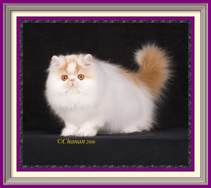 Exotic Longhair kittens for sale in Alabama, Exotic Longhair kittens for sale in AL, Exotic Longhair kittens for sale in Alaska, AK, Exotic Longhair kittens for sale in Arizona, AZ, Exotic Longhair kittens for sale in Arkansas, AR, Exotic Longhair kittens for sale in California, CA, Exotic Longhair kittens for sale in Colorado, CO, Exotic Longhair kittens for sale in Connecticut, CT, Exotic Longhair kittens for sale in District of Columbia, DC, Exotic Longhair kittens for sale in Delaware, DE, Exotic Longhair kittens for sale in Florida, FL, Exotic Longhair kittens for sale in Georgia, GA, Exotic Longhair kittens for sale in Hawaii, HI, Exotic Longhair kittens for sale in Idaho, ID, Exotic Longhair kittens for sale in Illinois, IL, Exotic Longhair kittens for sale in Indiana, IN, Exotic Longhair kittens for sale in Iowa, IA, Exotic Longhair kittens for sale in Kansas, KS, Exotic Longhair kittens for sale in Kentucky, KY, Exotic Longhair kittens for sale in Louisiana, LA, Exotic Longhair kittens for sale in Maine, ME, Exotic Longhair kittens for sale in Maryland, MD, Exotic Longhair kittens for sale in Massachusetts, MA, Exotic Longhair kittens for sale in Michigan, MI, Exotic Longhair kittens for sale in Minnesota, MN, Exotic Longhair kittens for sale in Mississippi, MS, Exotic Longhair kittens for sale in Missouri, MO, Exotic Longhair kittens for sale in Montana, MT, Exotic Longhair kittens for sale in Nebraska, NE, Exotic Longhair kittens for sale in Nevada, NV, Exotic Longhair kittens for sale in New Hampshire, NH, Exotic Longhair kittens for sale in New Jersey, NJ, Exotic Longhair kittens for sale in New Mexico, NM, Exotic Longhair kittens for sale in New York, NY, Exotic Longhair kittens for sale in North Carolina, NC, Exotic Longhair kittens for sale in North Dakota, ND, Exotic Longhair kittens for sale in Ohio, OH, Exotic Longhair kittens for sale in Oklahoma, OK, Exotic Longhair kittens for sale in Oregon, OR, Exotic Longhair kittens for sale in Pennsylvania, PA, Exotic Longhair kittens for sale in Puerto Rico, PR, Exotic Longhair kittens for sale in Rhode Island, RI, Exotic Longhair kittens for sale in South Carolina, SC, Exotic Longhair kittens for sale in South Dakota, SD, Exotic Longhair kittens for sale in Tennessee, TN, Exotic Longhair kittens for sale in Texas, TX, Exotic Longhair kittens for sale in Utah, UT, Exotic Longhair kittens for sale in Vermont, VT, Exotic Longhair kittens for sale in Virginia, VA, Exotic Longhair kittens for sale in Washington, WA, Exotic Longhair kittens for sale in West Virginia, WV, Exotic Longhair kittens for sale in Wisconsin, WI, Exotic Longhair kittens for sale in Wyoming, WY Persian kittens for sale in Alabama, Persian kittens for sale in AL, Persian kittens for sale in Alaska, AK, Persian kittens for sale in Arizona, AZ, Persian kittens for sale in Arkansas, AR, Persian kittens for sale in California, CA, Persian kittens for sale in Colorado, CO, Persian kittens for sale in Connecticut, CT, Persian kittens for sale in District of Columbia, DC, Persian kittens for sale in Delaware, DE, Persian kittens for sale in Florida, FL, Persian kittens for sale in Georgia, GA, Persian kittens for sale in Hawaii, HI, Persian kittens for sale in Idaho, ID, Persian kittens for sale in Illinois, IL, Persian kittens for sale in Indiana, IN, Persian kittens for sale in Iowa, IA, Persian kittens for sale in Kansas, KS, Persian kittens for sale in Kentucky, KY, Persian kittens for sale in Louisiana, LA, Persian kittens for sale in Maine, ME, Persian kittens for sale in Maryland, MD, Persian kittens for sale in Massachusetts, MA, Persian kittens for sale in Michigan, MI, Persian kittens for sale in Minnesota, MN, Persian kittens for sale in Mississippi, MS, Persian kittens for sale in Missouri, MO, Persian kittens for sale in Montana, MT, Persian kittens for sale in Nebraska, NE, Persian kittens for sale in Nevada, NV, Persian kittens for sale in New Hampshire, NH, Persian kittens for sale in New Jersey, NJ, Persian kittens for sale in New Mexico, NM, Persian kittens for sale in New York, NY, Persian kittens for sale in North Carolina, NC, Persian kittens for sale in North Dakota, ND, Persian kittens for sale in Ohio, OH, Persian kittens for sale in Oklahoma, OK, Persian kittens for sale in Oregon, OR, Persian kittens for sale in Pennsylvania, PA, Persian kittens for sale in Puerto Rico, PR, Persian kittens for sale in Rhode Island, RI, Persian kittens for sale in South Carolina, SC, Persian kittens for sale in South Dakota, SD, Persian kittens for sale in Tennessee, TN, Persian kittens for sale in Texas, TX, Persian kittens for sale in Utah, UT, Persian kittens for sale in Vermont, VT, Persian kittens for sale in Virginia, VA, Persian kittens for sale in Washington, WA, Persian kittens for sale in West Virginia, WV, Persian kittens for sale in Wisconsin, WI, Persian kittens for sale in Wyoming, WY Age to spay and neuter kittens, what to know before getting a kitten, buying a registered Persian, buying a registered Exotic Shorthair, Buying a registered Exotic Longhair, CFA Persian breed standard, Exotic Shorthair breed standard, Exotic Longhair breed standard, find a Persian cat breeder, find an Exotic Shorthair cat breeder, find an Exotic Longhair cat breeder, finding a good cat breeder, finding a reputable cat breeder, new cat introduction, new kitten introduction, new Persian cat or kitten, new Exotic Shorthair cat, new Exotic shorthair kitten, new Exotic Longhair kitten, Persian cat breeders, Exotic Shorthair cat breeder, Exotic longhair cat breeder, Persian cat information, Exotic Shorthair cat information, Exotic Longhair cat information, Persian eye tearing, spay and neuter, microchip cat, new Persian cat, Persian cat bath and grooming, grooming a Persian cat, household toxins, cat nutrition, books on Persians, cat shows in my area, pet insurance, information to care for cats, caring for your kitty, caring for your cat, caring for your kitten,