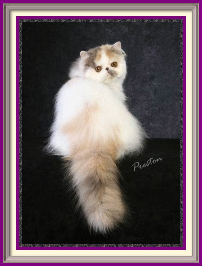 Persian Kittens for Sale, Breeder of healthy Persian kittens, Persian Cats & Kittens for Sale for Sale, Persian kitten breeder, Health Guarantee, kittens with Guarantee. Exotic Shorthair cat breeder in Alabama, Exotic Shorthair cat breeder in AL, Exotic Shorthair cat breeder in Alaska, AK, Exotic Shorthair cat breeder in Arizona, AZ, Exotic Shorthair cat breeder in Arkansas, AR, Exotic Shorthair cat breeder in California, CA, Exotic Shorthair cat breeder in Colorado, CO, Exotic Shorthair cat breeder in Connecticut, CT, Exotic Shorthair cat breeder in District of Columbia, DC, Exotic Shorthair cat breeder in Delaware, DE, Exotic Shorthair cat breeder in Florida, FL, Exotic Shorthair cat breeder in Georgia, GA, Exotic Shorthair cat breeder in Hawaii, HI, Exotic Shorthair cat breeder in Idaho, ID, Exotic Shorthair cat breeder in Illinois, IL, Exotic Shorthair cat breeder in Indiana, IN, Exotic Shorthair cat breeder in Iowa, IA, Exotic Shorthair cat breeder in Kansas, KS, Exotic Shorthair cat breeder in Kentucky, KY, Exotic Shorthair cat breeder in Louisiana, LA, Exotic Shorthair cat breeder in Maine, ME, Exotic Shorthair cat breeder in Maryland, MD, Exotic Shorthair cat breeder in Massachusetts, MA, Exotic Shorthair cat breeder in Michigan, MI, Exotic Shorthair cat breeder in Minnesota, MN, Exotic Shorthair cat breeder in Mississippi, MS, Exotic Shorthair cat breeder in Missouri, MO, Exotic Shorthair cat breeder in Montana, MT, Exotic Shorthair cat breeder in Nebraska, NE, Exotic Shorthair cat breeder in Nevada, NV, Exotic Shorthair cat breeder in New Hampshire, NH, Exotic Shorthair cat breeder in New Jersey, NJ, Exotic Shorthair cat breeder in New Mexico, NM, Exotic Shorthair cat breeder in New York, NY, Exotic Shorthair cat breeder in North Carolina, NC, Exotic Shorthair cat breeder in North Dakota, ND, Exotic Shorthair cat breeder in Ohio, OH, Exotic Shorthair cat breeder in Oklahoma, OK, Exotic Shorthair cat breeder in Oregon, OR, Exotic Shorthair cat breeder in Pennsylvania, PA, Exotic Shorthair cat breeder in Puerto Rico, PR, Exotic Shorthair cat breeder in Rhode Island, RI, Exotic Shorthair cat breeder in South Carolina, SC, Exotic Shorthair cat breeder in South Dakota, SD, Exotic Shorthair cat breeder in Tennessee, TN, Exotic Shorthair cat breeder in Texas, TX, Exotic Shorthair cat breeder in Utah, UT, Exotic Shorthair cat breeder in Vermont, VT, Exotic Shorthair cat breeder in Virginia, VA, Exotic Shorthair cat breeder in Washington, WA, Exotic Shorthair cat breeder in West Virginia, WV, Exotic Shorthair cat breeder in Wisconsin, WI, Exotic Shorthair cat breeder in Wyoming, WY Exotic Longhair cat breeder in Alabama, Exotic Longhair cat breeder in AL, Exotic Longhair cat breeder in Alaska, AK, Exotic Longhair cat breeder in Arizona, AZ, Exotic Longhair cat breeder in Arkansas, AR, Exotic Longhair cat breeder in California, CA, Exotic Longhair cat breeder in Colorado, CO, Exotic Longhair cat breeder in Connecticut, CT, Exotic Longhair cat breeder in District of Columbia, DC, Exotic Longhair cat breeder in Delaware, DE, Exotic Longhair cat breeder in Florida, FL, Exotic Longhair cat breeder in Georgia, GA, Exotic Longhair cat breeder in Hawaii, HI, Exotic Longhair cat breeder in Idaho, ID, Exotic Longhair cat breeder in Illinois, IL, Exotic Longhair cat breeder in Indiana, IN, Exotic Longhair cat breeder in Iowa, IA, Exotic Longhair cat breeder in Kansas, KS, Exotic Longhair cat breeder in Kentucky, KY, Exotic Longhair cat breeder in Louisiana, LA, Exotic Longhair cat breeder in Maine, ME, Exotic Longhair cat breeder in Maryland, MD, Exotic Longhair cat breeder in Massachusetts, MA, Exotic Longhair cat breeder in Michigan, MI, Exotic Longhair cat breeder in Minnesota, MN, Exotic Longhair cat breeder in Mississippi, MS, Exotic Longhair cat breeder in Missouri, MO, Exotic Longhair cat breeder in Montana, MT, Exotic Longhair cat breeder in Nebraska, NE, Exotic Longhair cat breeder in Nevada, NV, Exotic Longhair cat breeder in New Hampshire, NH, Exotic Longhair cat breeder in New Jersey, NJ, Exotic Longhair cat breeder in New Mexico, NM, Exotic Longhair cat breeder in New York, NY, Exotic Longhair cat breeder in North Carolina, NC, Exotic Longhair cat breeder in North Dakota, ND, Exotic Longhair cat breeder in Ohio, OH, Exotic Longhair cat breeder in Oklahoma, OK, Exotic Longhair cat breeder in Oregon, OR, Exotic Longhair cat breeder in Pennsylvania, PA, Exotic Longhair cat breeder in Puerto Rico, PR, Exotic Longhair cat breeder in Rhode Island, RI, Exotic Longhair cat breeder in South Carolina, SC, Exotic Longhair cat breeder in South Dakota, SD, Exotic Longhair cat breeder in Tennessee, TN, Exotic Longhair cat breeder in Texas, TX, Exotic Longhair cat breeder in Utah, UT, Exotic Longhair cat breeder in Vermont, VT, Exotic Longhair cat breeder in Virginia, VA, Exotic Longhair cat breeder in Washington, WA, Exotic Longhair cat breeder in West Virginia, WV, Exotic Longhair cat breeder in Wisconsin, WI, Exotic Longhair cat breeder in Wyoming, WY