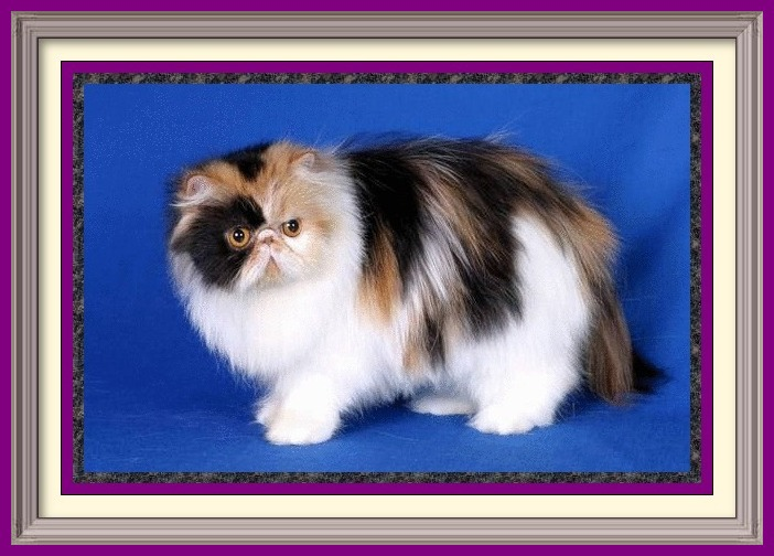 Exotic Longhair kittens for sale in Alabama, Exotic Longhair kittens for sale in AL, Exotic Longhair kittens for sale in Alaska, AK, Exotic Longhair kittens for sale in Arizona, AZ, Exotic Longhair kittens for sale in Arkansas, AR, Exotic Longhair kittens for sale in California, CA, Exotic Longhair kittens for sale in Colorado, CO, Exotic Longhair kittens for sale in Connecticut, CT, Exotic Longhair kittens for sale in District of Columbia, DC, Exotic Longhair kittens for sale in Delaware, DE, Exotic Longhair kittens for sale in Florida, FL, Exotic Longhair kittens for sale in Georgia, GA, Exotic Longhair kittens for sale in Hawaii, HI, Exotic Longhair kittens for sale in Idaho, ID, Exotic Longhair kittens for sale in Illinois, IL, Exotic Longhair kittens for sale in Indiana, IN, Exotic Longhair kittens for sale in Iowa, IA, Exotic Longhair kittens for sale in Kansas, KS, Exotic Longhair kittens for sale in Kentucky, KY, Exotic Longhair kittens for sale in Louisiana, LA, Exotic Longhair kittens for sale in Maine, ME, Exotic Longhair kittens for sale in Maryland, MD, Exotic Longhair kittens for sale in Massachusetts, MA, Exotic Longhair kittens for sale in Michigan, MI, Exotic Longhair kittens for sale in Minnesota, MN, Exotic Longhair kittens for sale in Mississippi, MS, Exotic Longhair kittens for sale in Missouri, MO, Exotic Longhair kittens for sale in Montana, MT, Exotic Longhair kittens for sale in Nebraska, NE, Exotic Longhair kittens for sale in Nevada, NV, Exotic Longhair kittens for sale in New Hampshire, NH, Exotic Longhair kittens for sale in New Jersey, NJ, Exotic Longhair kittens for sale in New Mexico, NM, Exotic Longhair kittens for sale in New York, NY, Exotic Longhair kittens for sale in North Carolina, NC, Exotic Longhair kittens for sale in North Dakota, ND, Exotic Longhair kittens for sale in Ohio, OH, Exotic Longhair kittens for sale in Oklahoma, OK, Exotic Longhair kittens for sale in Oregon, OR, Exotic Longhair kittens for sale in Pennsylvania, PA, Exotic Longhair kittens for sale in Puerto Rico, PR, Exotic Longhair kittens for sale in Rhode Island, RI, Exotic Longhair kittens for sale in South Carolina, SC, Exotic Longhair kittens for sale in South Dakota, SD, Exotic Longhair kittens for sale in Tennessee, TN, Exotic Longhair kittens for sale in Texas, TX, Exotic Longhair kittens for sale in Utah, UT, Exotic Longhair kittens for sale in Vermont, VT, Exotic Longhair kittens for sale in Virginia, VA, Exotic Longhair kittens for sale in Washington, WA, Exotic Longhair kittens for sale in West Virginia, WV, Exotic Longhair kittens for sale in Wisconsin, WI, Exotic Longhair kittens for sale in Wyoming, WY Persian kittens for sale in Alabama, Persian kitties for sale in AL, Persian kittens for sale in Alaska, AK, Persian kittens for sale in Arizona, AZ, Persian kittens for sale in Arkansas, AR, Persian kittens for sale in California, CA, Persian kittens for sale in Colorado, CO, Persian kittens for sale in Connecticut, CT, Persian kittens for sale in District of Columbia, DC, Persian kittens for sale in Delaware, DE, Persian kittens for sale in Florida, FL, Persian kittens for sale in Georgia, GA, Persian kittens for sale in Hawaii, HI, Persian kittens for sale in Idaho, ID, Persian kittens for sale in Illinois, IL, Persian kittens for sale in Indiana, IN, Persian kittens for sale in Iowa, IA, Persian kittens for sale in Kansas, KS, Persian kittens for sale in Kentucky, KY, Persian kittens for sale in Louisiana, LA, Persian kittens for sale in Maine, ME, Persian kittens for sale in Maryland, MD, Persian kittens for sale in Massachusetts, MA, Persian kittens for sale in Michigan, MI, Persian kittens for sale in Minnesota, MN, Persian kittens for sale in Mississippi, MS, Persian kittens for sale in Missouri, MO, Persian kittens for sale in Montana, MT, Persian kittens for sale in Nebraska, NE, Persian kittens for sale in Nevada, NV, Persian kittens for sale in New Hampshire, NH, Persian kittens for sale in New Jersey, NJ, Persian kittens for sale in New Mexico, NM, Persian kittens for sale in New York, NY, Persian kittens for sale in North Carolina, NC, Persian kittens for sale in North Dakota, ND, Persian kittens for sale in Ohio, OH, Persian kittens for sale in Oklahoma, OK, Persian kittens for sale in Oregon, OR, Persian kittens for sale in Pennsylvania, PA, Persian kittens for sale in Puerto Rico, PR, Persian kittens for sale in Rhode Island, RI, Persian kittens for sale in South Carolina, SC, Persian kittens for sale in South Dakota, SD, Persian kittens for sale in Tennessee, TN, Persian kittens for sale in Texas, TX, Persian kittens for sale in Utah, UT, Persian kittens for sale in Vermont, VT, Persian kittens for sale in Virginia, VA, Persian kittens for sale in Washington, WA, Persian kittens for sale in West Virginia, WV, Persian kittens for sale in Wisconsin, WI, Persian kittens for sale in Wyoming, WY