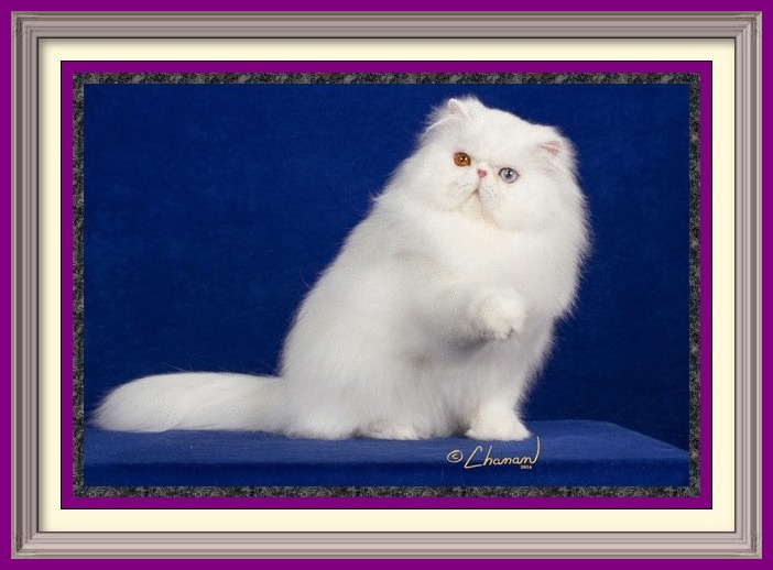 Persian kittens for sale in Alabama, Persian kitties for sale in AL, Persian kittens for sale in Alaska, AK, Persian kittens for sale in Arizona, AZ, Persian kittens for sale in Arkansas, AR, Persian kittens for sale in California, CA, Persian kittens for sale in Colorado, CO, Persian kittens for sale in Connecticut, CT, Persian kittens for sale in District of Columbia, DC, Persian kittens for sale in Delaware, DE, Persian kittens for sale in Florida, FL, Persian kittens for sale in Georgia, GA, Persian kittens for sale in Hawaii, HI, Persian kittens for sale in Idaho, ID, Persian kittens for sale in Illinois, IL, Persian kittens for sale in Indiana, IN, Persian kittens for sale in Iowa, IA, Persian kittens for sale in Kansas, KS, Persian kittens for sale in Kentucky, KY, Persian kittens for sale in Louisiana, LA, Persian kittens for sale in Maine, ME, Persian kittens for sale in Maryland, MD, Persian kittens for sale in Massachusetts, MA, Persian kittens for sale in Michigan, MI, Persian kittens for sale in Minnesota, MN, Persian kittens for sale in Mississippi, MS, Persian kittens for sale in Missouri, MO, Persian kittens for sale in Montana, MT, Persian kittens for sale in Nebraska, NE, Persian kittens for sale in Nevada, NV, Persian kittens for sale in New Hampshire, NH, Persian kittens for sale in New Jersey, NJ, Persian kittens for sale in New Mexico, NM, Persian kittens for sale in New York, NY, Persian kittens for sale in North Carolina, NC, Persian kittens for sale in North Dakota, ND, Persian kittens for sale in Ohio, OH, Persian kittens for sale in Oklahoma, OK, Persian kittens for sale in Oregon, OR, Persian kittens for sale in Pennsylvania, PA, Persian kittens for sale in Puerto Rico, PR, Persian kittens for sale in Rhode Island, RI, Persian kittens for sale in South Carolina, SC, Persian kittens for sale in South Dakota, SD, Persian kittens for sale in Tennessee, TN, Persian kittens for sale in Texas, TX, Persian kittens for sale in Utah, UT, Persian kittens for sale in Vermont, VT, Persian kittens for sale in Virginia, VA, Persian kittens for sale in Washington, WA, Persian kittens for sale in West Virginia, WV, Persian kittens for sale in Wisconsin, WI, Persian kittens for sale in Wyoming, WY Age to spay and neuter kittens, what to know before getting a kitten, buying a registered Persian, buying a registered Exotic Shorthair, Buying a registered Exotic Longhair, CFA Persian breed standard, Exotic Shorthair breed standard, Exotic Longhair breed standard, find a Persian cat breeder, find an Exotic Shorthair cat breeder, find an Exotic Longhair cat breeder, finding a good cat breeder, finding a reputable cat breeder, new cat introduction, new kitten introduction, new Persian cat or kitten, new Exotic Shorthair cat, new Exotic shorthair kitten, new Exotic Longhair kitten, Persian cat breeders, Exotic Shorthair cat breeder, Exotic longhair cat breeder, Persian cat information, Exotic Shorthair cat information, Exotic Longhair cat information, Persian eye tearing, spay and neuter, microchip cat, new Persian cat, Persian cat bath and grooming, grooming a Persian cat, household toxins, cat nutrition, books on Persians, cat shows in my area, pet insurance, information to care for cats, caring for your kitty, caring for your cat, caring for your kitten,