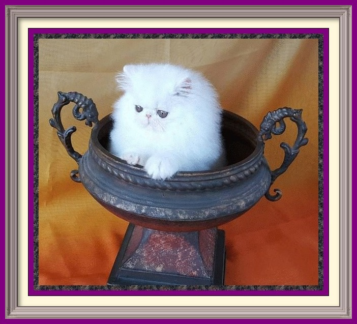 Persian cat breeder in Alabama, Persian cat breeder in AL, Persian cat breeder in Alaska, AK, Persian cat breeder in Arizona, AZ, Persian cat breeder in Arkansas, AR, Persian cat breeder in California, CA, Persian cat breeder in Colorado, CO, Persian cat breeder in Connecticut, CT, Persian cat breeder in District of Columbia, DC, Persian cat breeder in Delaware, DE, Persian cat breeder in Florida, FL, Persian cat breeder in Georgia, GA, Persian cat breeder in Hawaii, HI, Persian cat breeder in Idaho, ID, Persian cat breeder in Illinois, IL, Persian cat breeder in Indiana, IN, Persian cat breeder in Iowa, IA, Persian cat breeder in Kansas, KS, Persian cat breeder in Kentucky, KY, Persian cat breeder in Louisiana, LA, Persian cat breeder in Maine, ME, Persian cat breeder in Maryland, MD, Persian cat breeder in Massachusetts, MA, Persian cat breeder in Michigan, MI, Persian cat breeder in Minnesota, MN, Persian cat breeder in Mississippi, MS, Persian cat breeder in Missouri, MO, Persian cat breeder in Montana, MT, Persian cat breeder in Nebraska, NE, Persian cat breeder in Nevada, NV, Persian cat breeder in New Hampshire, NH, Persian cat breeder in New Jersey, NJ, Persian cat breeder in New Mexico, NM, Persian cat breeder in New York, NY, Persian cat breeder in North Carolina, NC, Persian cat breeder in North Dakota, ND, Persian cat breeder in Ohio, OH, Persian cat breeder in Oklahoma, OK, Persian cat breeder in Oregon, OR, Persian cat breeder in Pennsylvania, PA, Persian cat breeder in Puerto Rico, PR, Persian cat breeder in Rhode Island, RI, Persian cat breeder in South Carolina, SC, Persian cat breeder in South Dakota, SD, Persian cat breeder in Tennessee, TN, Persian cat breeder in Texas, TX, Persian cat breeder in Utah, UT, Persian cat breeder in Vermont, VT, Persian cat breeder in Virginia, VA, Persian cat breeder in Washington, WA, Persian cat breeder in West Virginia, WV, Persian cat breeder in Wisconsin, WI, Persian cat breeder in Wyoming, WY Exotic Shorthair kittens for sale in Alabama, Exotic Shorthair kittens for sale in AL, Exotic Shorthair kittens for sale in Alaska, AK, Exotic Shorthair kittens for sale in Arizona, AZ, Exotic Shorthair kittens for sale in Arkansas, AR, Exotic Shorthair kittens for sale in California, CA, Exotic Shorthair kittens for sale in Colorado, CO, Exotic Shorthair kittens for sale in Connecticut, CT, Exotic Shorthair kittens for sale in District of Columbia, DC, Exotic Shorthair kittens for sale in Delaware, DE, Exotic Shorthair kittens for sale in Florida, FL, Exotic Shorthair kittens for sale in Georgia, GA, Exotic Shorthair kittens for sale in Hawaii, HI, Exotic Shorthair kittens for sale in Idaho, ID, Exotic Shorthair kittens for sale in Illinois, IL, Exotic Shorthair kittens for sale in Indiana, IN, Exotic Shorthair kittens for sale in Iowa, IA, Exotic Shorthair kittens for sale in Kansas, KS, Exotic Shorthair kittens for sale in Kentucky, KY, Exotic Shorthair kittens for sale in Louisiana, LA, Exotic Shorthair kittens for sale in Maine, ME, Exotic Shorthair kittens for sale in Maryland, MD, Exotic Shorthair kittens for sale in Massachusetts, MA, Exotic Shorthair kittens for sale in Michigan, MI, Exotic Shorthair kittens for sale in Minnesota, MN, Exotic Shorthair kittens for sale in Mississippi, MS, Exotic Shorthair kittens for sale in Missouri, MO, Exotic Shorthair kittens for sale in Montana, MT, Exotic Shorthair kittens for sale in Nebraska, NE, Exotic Shorthair kittens for sale in Nevada, NV, Exotic Shorthair kittens for sale in New Hampshire, NH, Exotic Shorthair kittens for sale in New Jersey, NJ, Exotic Shorthair kittens for sale in New Mexico, NM, Exotic Shorthair kittens for sale in New York, NY, Exotic Shorthair kittens for sale in North Carolina, NC, Exotic Shorthair kittens for sale in North Dakota, ND, Exotic Shorthair kittens for sale in Ohio, OH, Exotic Shorthair kittens for sale in Oklahoma, OK, Exotic Shorthair kittens for sale in Oregon, OR, Exotic Shorthair kittens for sale in Pennsylvania, PA, Exotic Shorthair kittens for sale in Puerto Rico, PR, Exotic Shorthair kittens for sale in Rhode Island, RI, Exotic Shorthair kittens for sale in South Carolina, SC, Exotic Shorthair kittens for sale in South Dakota, SD, Exotic Shorthair kittens for sale in Tennessee, TN, Exotic Shorthair kittens for sale in Texas, TX, Exotic Shorthair kittens for sale in Utah, UT, Exotic Shorthair kittens for sale in Vermont, VT, Exotic Shorthair kittens for sale in Virginia, VA, Exotic Shorthair kittens for sale in Washington, WA, Exotic Shorthair kittens for sale in West Virginia, WV, Exotic Shorthair kittens for sale in Wisconsin, WI, Exotic Shorthair kittens for sale in Wyoming, WY