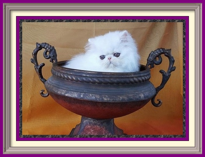 Persian Kittens for sale near me, Persian Cattery, Persian, Persians, Persian Cats, Persian Cat, Persian kittens, Persian kitten, Persian Cat Breeder, Persian Cat Breeders, Cat Breeder, Cat Breeders, cattery, cat, cats, kitten, kittens, Breeder, Breeders, feline, pet, Rocky Mountains, companion, breeder, breeders, Longhairs, Longhair Cats, longhair cats, Cat Fanciers Association, Persian show kitten, Persian show cat, Persian show cat for sale near me Exotic Shorthair Kittens for sale near me, Exotic Shorthair Cattery, Exotic Shorthair, Exotic Shorthair, Exotic Shorthair, Exotic Shorthair Cat, Exotic Shorthair kittens, Exotic Shorthair kitten, Exotic Shorthair Cat Breeder, Exotic Shorthair Cat Breeders, Cat Breeder, Cat Breeders, cattery, cat, cats, kitten, kittens, Breeder, Breeders, feline, pet, Minneapolis, Minnesota, Saint Paul, Twin Cities, companion, breeder, breeders, Exotic Shorthair and Longhairs, Exotic Shorthair Cats, longhair cats, Cat Fanciers Association, Exotic Shorthair show kitten, Exotic Shorthair show cat, Exotic Shorthair show cat for sale near me Exotic Longhair Kittens for sale near me, Exotic Longhair Cattery, Exotic Longhair, Exotic Shorthair Cat, Exotic Longhair kittens, Exotic Longhair kitten, Exotic Longhair Cat Breeder, Exotic Longhair Cat Breeders, Cat Breeder, Cat Breeders, cattery, cat, cats, kitten, kittens, Breeder, Breeders, feline, pet, Minneapolis, Minnesota, Saint Paul, Twin Cities, companion, breeder, breeders, Exotic Shorthair and Longhairs, Exotic Longhair Cats, longhair cats, Cat Fanciers Association, Exotic Longhair show kitten, Exotic Longhair show cat, Exotic Longhair show cat for sale near me CFA Registered Persian cats and Persian kittens for sale. Get more information on Persian cats, Persian kittens, and cat shows. Persian Cattery, Persian, Persians, Persian Cats, Persian Kitten In Colorado, Persian Breeder In Colorado, Persian Cats for Sale, Persian Cat, Persian Kittens, Persian Kitten, Persian Cat Breeder, Persian Cat Breeders, Persian Cat Breeder In Colorado, Persian Kitten Breeder In Colorado, Cat Breeder, Cat Breeders, Cattery, Cat, Cats, Kitten, Kittens, Breeder, Breeders, Feline, Pet, Rocky Mountains, Companion, Longhairs, Longhair Cats, Cat Fanciers Association, Grooming And Bathing Persians, Health Guarantee, Bathing, Bath, Persian, Bath, Mats, Comb, Persians, Purebred, Purebreds, Persian, Shows, Himalayan Cats, Longhair Kittens, Sweet Face, Cat Health, Cat Links, Sire, Dam, Pedigree Cats, Kitten Sales, Home Raised, Cattery, Cat Care, Cat Referral, Pet Cat, Feline, Sire, Dam, Tabbys, Tabbies, Pointed, Health, Temperament, Disposition, Purr, Personality, Pets, Feline, Cat Links, Raised, Cats Raised Underfoot, Pedigree, Kittens Available, Cat Care, Bi-Color, Bicolor, Solid, Smoke, Flat Face, Calico, Champion, Grand Champion, Tortoiseshell, Tortiseshell, Blue-Cream, Blue Cream, Bi-Color Van, Bicolor Van, Groomer's Goop, Goop to wash cats, degrease with Goop, Feline behavior modification with Feliway.