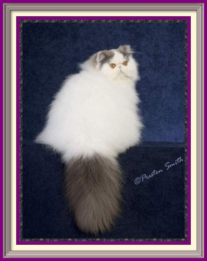 Persian Kittens for sale near me, Persian Cattery, Persian, Persians, Persian Cats, Persian Cat, Persian kittens, Persian kitten, Persian Cat Breeder, Persian Cat Breeders, Cat Breeder, Cat Breeders, cattery, cat, cats, kitten, kittens, Breeder, Breeders, feline, pet, Rocky Mountains, companion, breeder, breeders, Longhairs, Longhair Cats, longhair cats, Cat Fanciers Association, Persian show kitten, Persian show cat, Persian show cat for sale near me Exotic Shorthair Kittens for sale near me, Exotic Shorthair Cattery, Exotic Shorthair, Exotic Shorthair, Exotic Shorthair, Exotic Shorthair Cat, Exotic Shorthair kittens, Exotic Shorthair kitten, Exotic Shorthair Cat Breeder, Exotic Shorthair Cat Breeders, Cat Breeder, Cat Breeders, cattery, cat, cats, kitten, kittens, Breeder, Breeders, feline, pet, Minneapolis, Minnesota, Saint Paul, Twin Cities, companion, breeder, breeders, Exotic Shorthair and Longhairs, Exotic Shorthair Cats, longhair cats, Cat Fanciers Association, Exotic Shorthair show kitten, Exotic Shorthair show cat, Exotic Shorthair show cat for sale near me Exotic Longhair Kittens for sale near me, Exotic Longhair Cattery, Exotic Longhair, Exotic Shorthair Cat, Exotic Longhair kittens, Exotic Longhair kitten, Exotic Longhair Cat Breeder, Exotic Longhair Cat Breeders, Cat Breeder, Cat Breeders, cattery, cat, cats, kitten, kittens, Breeder, Breeders, feline, pet, Minneapolis, Minnesota, Saint Paul, Twin Cities, companion, breeder, breeders, Exotic Shorthair and Longhairs, Exotic Longhair Cats, longhair cats, Cat Fanciers Association, Exotic Longhair show kitten, Exotic Longhair show cat, Exotic Longhair show cat for sale near me