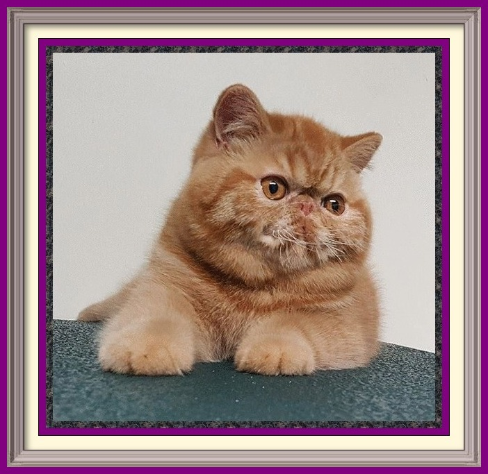 Persian Cattery, Persian, Persians, Persian Cats, Persian Kitten In Colorado, Persian Breeder In Colorado, Persian Cats for Sale, Persian Cat, Persian Kittens, Persian Kitten, Persian Cat Breeder, Persian Cat Breeders, Persian Cat Breeder In Colorado, Persian Kitten Breeder In Colorado, Cat Breeder, Cat Breeders, Cattery, Cat, Cats, Kitten, Kittens, Breeder, Breeders, Feline, Pet, Rocky Mountains, Companion, Longhairs, Longhair Cats, Cat Fanciers Association, Grooming And Bathing Persians, Health Guarantee, Bathing, Bath, Persian, Bath, Mats, Comb, Persians, Purebred, Purebreds, Persian, Shows, Himalayan Cats, Longhair Kittens, Sweet Face, Cat Health, Cat Links, Sire, Dam, Pedigree Cats, Kitten Sales, Home Raised, Cattery, Cat Care, Cat Referral, Pet Cat, Feline, Sire, Dam, Tabbys, Tabbies, Pointed, Health, Temperament, Disposition, Purr, Personality, Pets, Feline, Cat Links, Raised, Cats Raised Underfoot, Pedigree, Kittens Available, Cat Care, Bi-Color, Bicolor, Solid, Smoke, Flat Face, Calico, Champion, Grand Champion, Tortoiseshell, Tortiseshell, Blue-Cream, Blue Cream, Bi-Color Van, Bicolor Van, Groomer's Goop, Goop to wash cats, degrease with Goop, Feline behavior modification with Feliway. Cats for sale, cat classifieds, cat photo, kittens, cat toys, Persian, Persians, catteries, catteries, cattery directory, cats, cat photos, cat, kittens for sale, cats for sale, kittens and cats for sale, kittens sale, cats sale, cat breeders cats breeders cats for sale kittens for sale kittens cats breeders Exotic Shorthair kittens, Exotic Shorthair cat breeders, Exotic Longhair kittens, Persian kittens, Alabama, Alaska, Arizona, Arkansas, California, Colorado, Connecticut, Delaware, Florida, Georgia, Hawaii, Idaho, Illinois, Indiana, Iowa, Kansas, Kentucky, Louisiana, Maine, Maryland, Massachusetts, Michigan, Minnesota, Mississippi, Missouri, Montana, Nebraska, Nevada, New Hampshire, New Jersey, New Mexico, New York, North Carolina, North Dakota, Ohio, Oklahoma, Oregon, Pennsylvania, Rhode Island, South Carolina, South Dakota, Tennessee, Texas, Utah, Vermont, Virginia, Washington, Washington DC, West Virginia, Wisconsin, Wyoming,