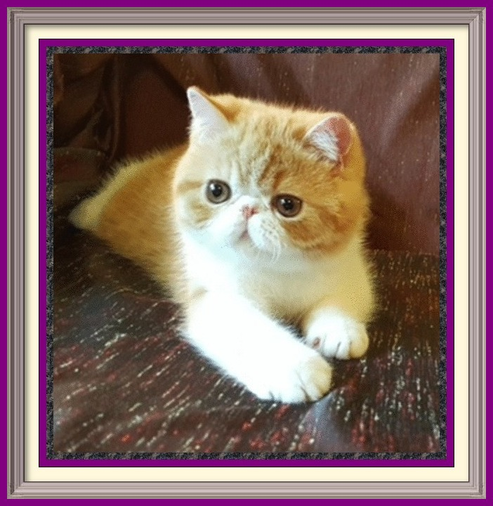 Exotic Shorthair kittens for sale in Alabama, Exotic Shorthair kittens for sale in AL, Exotic Shorthair kittens for sale in Alaska, AK, Exotic Shorthair kittens for sale in Arizona, AZ, Exotic Shorthair kittens for sale in Arkansas, AR, Exotic Shorthair kittens for sale in California, CA, Exotic Shorthair kittens for sale in Colorado, CO, Exotic Shorthair kittens for sale in Connecticut, CT, Exotic Shorthair kittens for sale in District of Columbia, DC, Exotic Shorthair kittens for sale in Delaware, DE, Exotic Shorthair kittens for sale in Florida, FL, Exotic Shorthair kittens for sale in Georgia, GA, Exotic Shorthair kittens for sale in Hawaii, HI, Exotic Shorthair kittens for sale in Idaho, ID, Exotic Shorthair kittens for sale in Illinois, IL, Exotic Shorthair kittens for sale in Indiana, IN, Exotic Shorthair kittens for sale in Iowa, IA, Exotic Shorthair kittens for sale in Kansas, KS, Exotic Shorthair kittens for sale in Kentucky, KY, Exotic Shorthair kittens for sale in Louisiana, LA, Exotic Shorthair kittens for sale in Maine, ME, Exotic Shorthair kittens for sale in Maryland, MD, Exotic Shorthair kittens for sale in Massachusetts, MA, Exotic Shorthair kittens for sale in Michigan, MI, Exotic Shorthair kittens for sale in Minnesota, MN, Exotic Shorthair kittens for sale in Mississippi, MS, Exotic Shorthair kittens for sale in Missouri, MO, Exotic Shorthair kittens for sale in Montana, MT, Exotic Shorthair kittens for sale in Nebraska, NE, Exotic Shorthair kittens for sale in Nevada, NV, Exotic Shorthair kittens for sale in New Hampshire, NH, Exotic Shorthair kittens for sale in New Jersey, NJ, Exotic Shorthair kittens for sale in New Mexico, NM, Exotic Shorthair kittens for sale in New York, NY, Exotic Shorthair kittens for sale in North Carolina, NC, Exotic Shorthair kittens for sale in North Dakota, ND, Exotic Shorthair kittens for sale in Ohio, OH, Exotic Shorthair kittens for sale in Oklahoma, OK, Exotic Shorthair kittens for sale in Oregon, OR, Exotic Shorthair kittens for sale in Pennsylvania, PA, Exotic Shorthair kittens for sale in Puerto Rico, PR, Exotic Shorthair kittens for sale in Rhode Island, RI, Exotic Shorthair kittens for sale in South Carolina, SC, Exotic Shorthair kittens for sale in South Dakota, SD, Exotic Shorthair kittens for sale in Tennessee, TN, Exotic Shorthair kittens for sale in Texas, TX, Exotic Shorthair kittens for sale in Utah, UT, Exotic Shorthair kittens for sale in Vermont, VT, Exotic Shorthair kittens for sale in Virginia, VA, Exotic Shorthair kittens for sale in Washington, WA, Exotic Shorthair kittens for sale in West Virginia, WV, Exotic Shorthair kittens for sale in Wisconsin, WI, Exotic Shorthair kittens for sale in Wyoming, WY