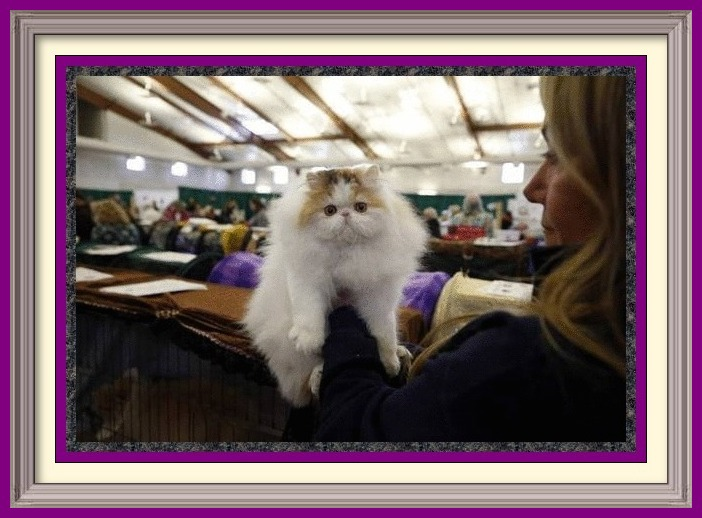 57th Annual Show - Lincoln State Cat Show at Kane County FairGrounds in St Charles-Chicago-Illinois