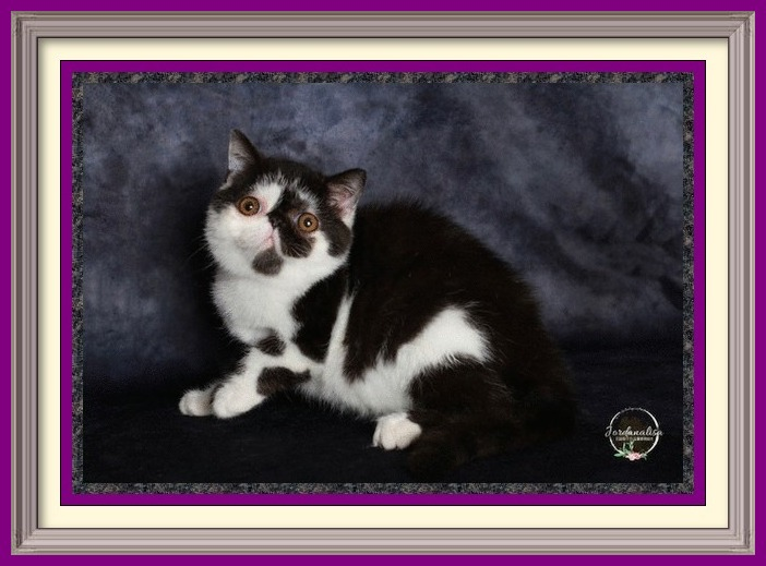 Black & White Exotic Shorthair Male DOB 05-11-2019 Homozygous-framed