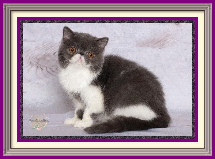 Blue & White Female Exotic Shorthair DOB 04-26-19-framed