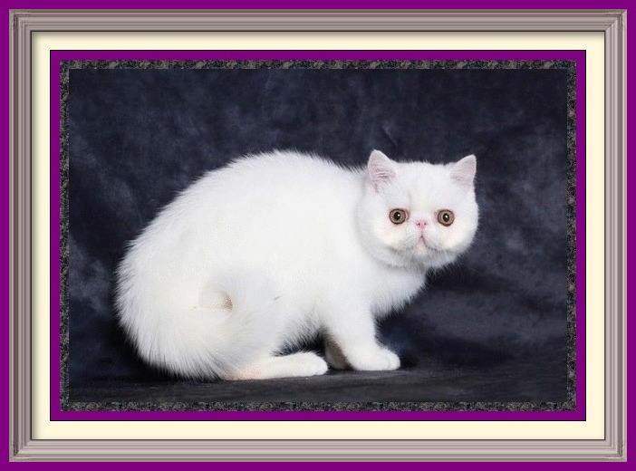 Copper Eyed White Exotic Shorthair Male DOB 05-25-2019-framed
