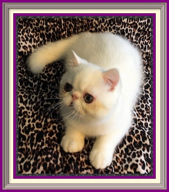 white british shorthair for sale, interesting cat breeds, chocolate british shorthair kittens, black british shorthair cat, where to get a british shorthair cat, large exotic cat breeds, british short cat, grey british shorthair kitten, blue exotic shorthair cat, where can i buy a british shorthair cat, blue british shorthair kittens for adoption, british shorthair indoor cat, british shorthair female, british domestic cat, orange exotic shorthair kittens for sale, maine coon breeders, persian blue cat short hair, exoctic short hair cat, balinese cat breeds, english shorthair kittens for sale, chocolate british shorthair kittens for sale, himalayan cat, sphynx cats for sale craigslist, british shorthair blue tabby, british shorthair male, british fold cat for sale, british blue cattery, american shorthair kitten price, british shorthair kitten food, golden british shorthair, british shorthair cat temperament, british shorthair mix, british shorthair kittens near me, purebred british shorthair kittens for sale, siamese kittens for sale mn, british shorthair adults for sale, british blue cats for rehoming, abyssinian cat breeds, white british shorthair cat for sale, manx cat breed, the exotic shorthair cat for sale, where to buy british shorthair, british shorthair cat health problems, long hair persian cat for sale, white exotic shorthair cat, short hair tabby kittens for sale, british short cat for sale, burly british shorthair, white shorthair kittens for sale, extreme exotic shorthair cats, elegant exotic shorthair, brown british shorthair kittens, british longhair breeders, excotic short hair cat, british blue adoption, where to buy an exotic shorthair cat, bombay cat breed, british blue cat personality, exotic shorthair munchkin kittens for sale, british shorthair orange, exotic shorthair care, british shorthair kitten behavior, british blue cat price, british hair cat, british shorthair tortie, british tabby cat, exotic looking cats, blue colourpoint british sh