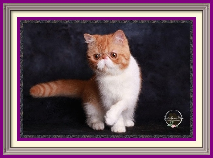 Red tabby boy born 03-15-19-framed