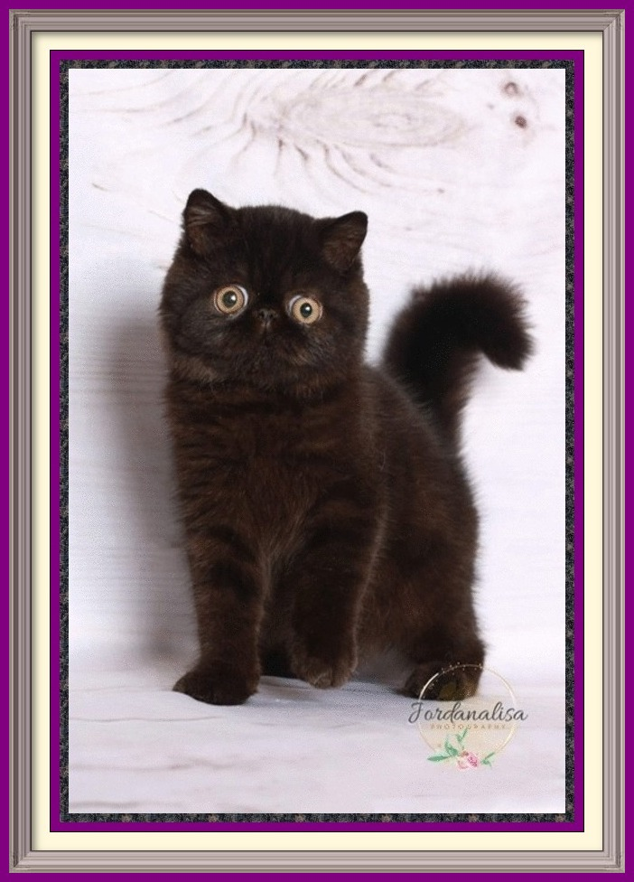 Solid Black Exotic Shorthair Male DOB 05-17-2019-framed
