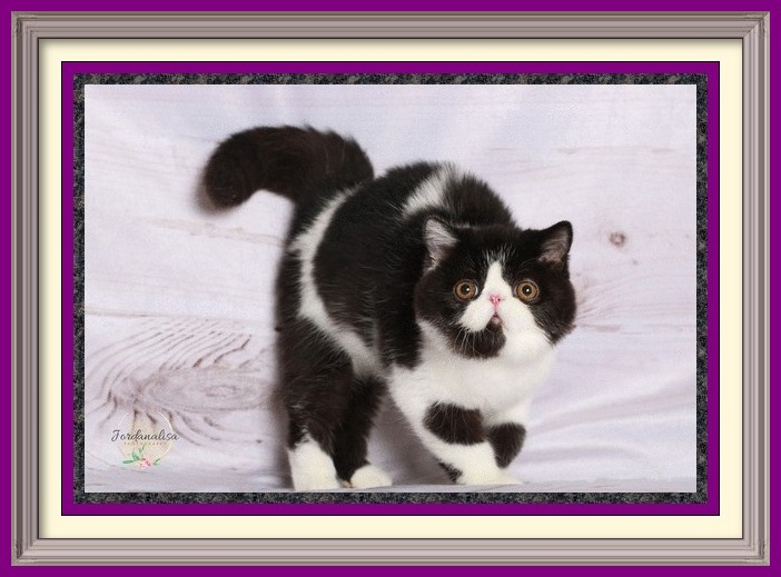 black and white exotic shorthair male dob 04-26-2019-2-framed