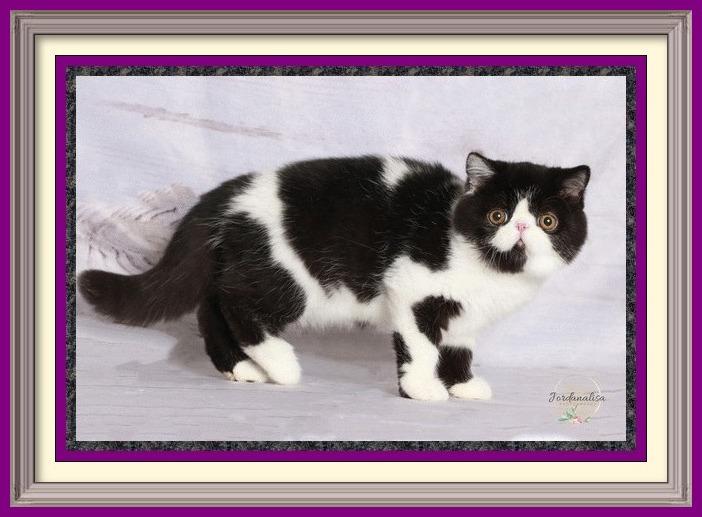 black and white exotic shorthair male dob 04-26-2019-3-framed